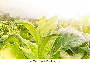 Close up Nicotiana tabacum, the Common tobacco is an...