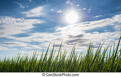 Rice field with cloudy blue sky.