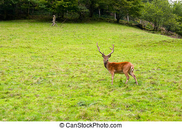 deer in the wilderness, Black Forest, Germany