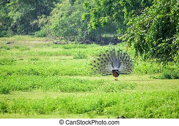 Peacock or Pavo cristatus - Wild peacock or Pavo cristatus...
