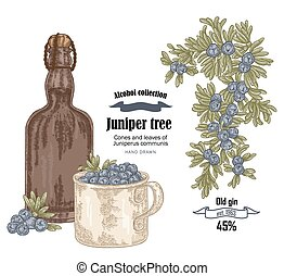Juniper tree and old bottle gin vector illustration. Cones ans berries of Juniperus communis. Hand drawn alcohol set