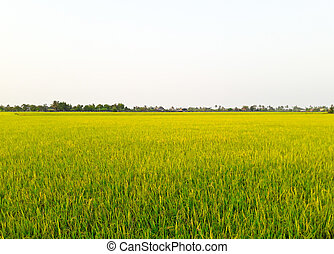 Paddy Rice Fields.