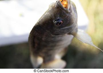 Fish Tilapia hanging hook animal eye