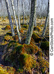 Birch tree forest on a Swamp in a sunny spring day