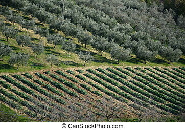 plowed fields with vineyards and olive trees