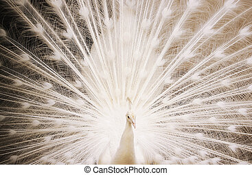 Portrait of beautiful white peacock with feathers out and...
