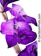 hermoso, gladiola, flor, -, totalmente, aislado, blanco,...