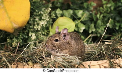 Small degu in the woods - Small degu standing on hind legs...