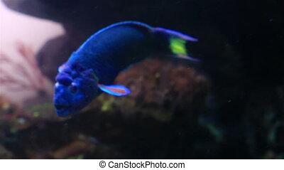 Wrasse in the decorated Marine Aquarium stock footage video...