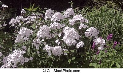 Zoom In on flox (Phlox paniculata,) - White phlox in the...