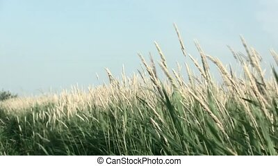 Waving grasses in the wind. - Waving grass in the...