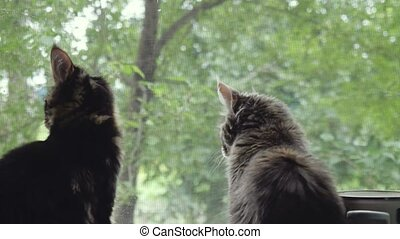 Cute maine coon kittens sitting on the window and looking on...