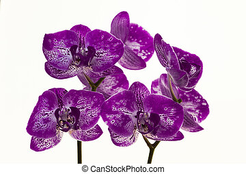 A bouquet of purple orchids on a white background. - A...