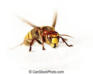 giant hornet - Close-up macro of the giant hornet