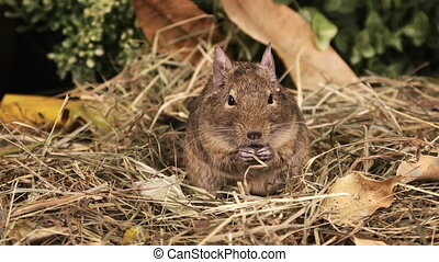 Portrait of a small degu eating seeds in the woods