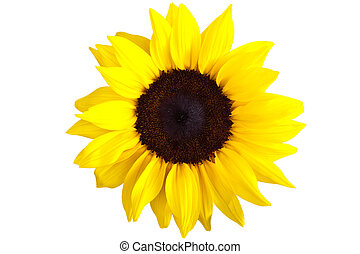Perfect Sunflower, completely isolated on white background -...