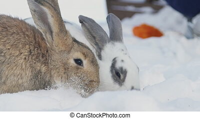 Two rabbits sitting in snow eating cabbage outdoors in park....