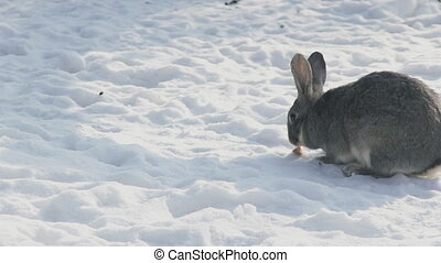 Large gray rabbit chews a piece of carrot in the cold snow....