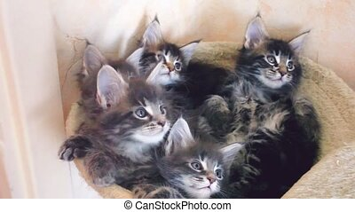 Funny Maine coon cats lying in hammock move their heads back...