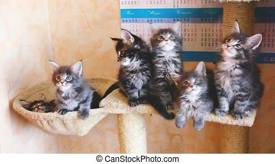 Funny Maine coon kittens sit at catside home and hammock...