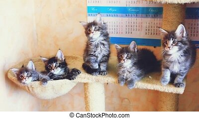 Funny Maine Coon kittens sit at catside home move their...