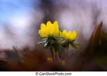 Yellow Aconite blooming in the garden