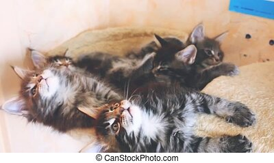 Funny Maine coon kittens lying in hammock move their heads...