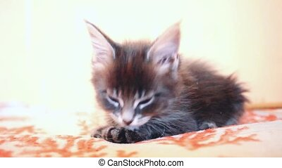 Cute blue tabby color Maine coon kitten licks paw....