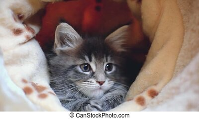 Playful blue tabby color Maine coon kittens. 1920x1080. hd -...