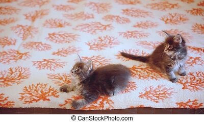 Two Funny Maine coon kittens move their heads back and...