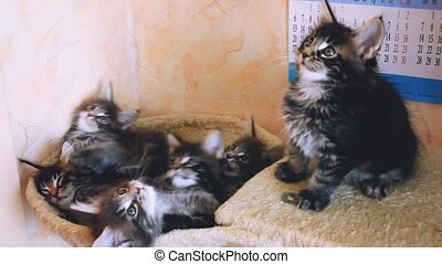 Funny cute Maine coon kittens lying in hammock move their...