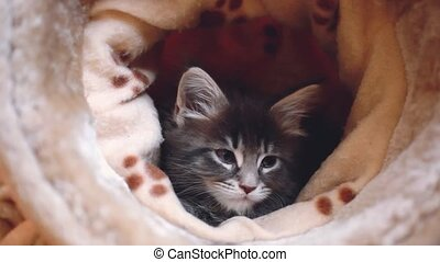 Playful blue tabby color Maine coon kitten. 1920x1080. hd -...