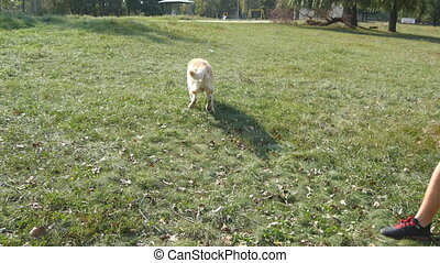 Man throwing stick or toy for animal for his dogs. Labrador...