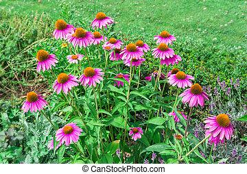 Echinacea purpurea flowers. - Echinacea purpurea (purple...