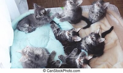Adorable Maine Coon kittens lying in a cat's blue sofa and...