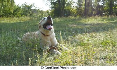Dog breed labrador or golden retriever lying on the green grass lawn. Domestic animal opening his mouth and showing tongue breathing heavily from the heat. Nature at background. Close up