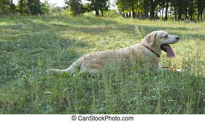 Dog breed labrador or golden retriever lying on the green...