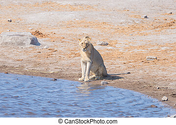 Young male Lion drinking from waterhole in daylight....