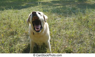 Dog breed labrador retriever sits on green grass and...