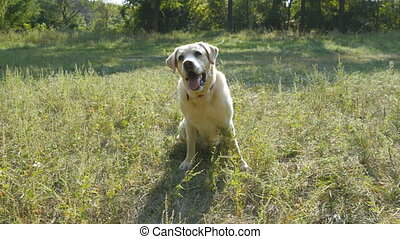 Labrador or golden retriever catch wooden stick into the...
