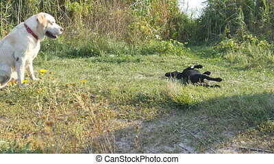 Two dogs running and playing together on green grass at...