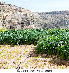 in oman the cultivation of rice plant nature and color hill...