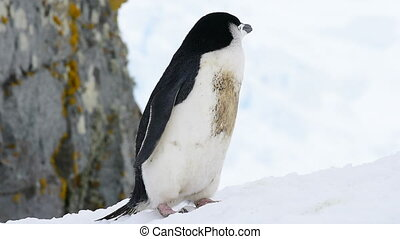 Chinstrap Penguins on snow - Chinstrap Penguin on snow in...