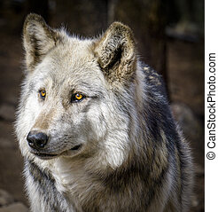 Wolf and Wolf Dogs in Winter - Close up of gray wolf in...