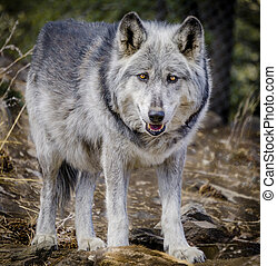Wolf and Wolf Dogs in Winter - Gray wolf standing and...