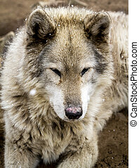 Wolf and Wolf Dogs in Winter - Close up of gray wolf dog...