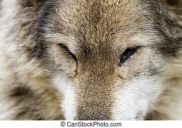 Wolf and Wolf Dogs in Winter - Sleeping gray wolf dog hybrid...