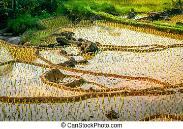 Indonesian ricefield terraces - Green terraced rice fields...