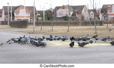 Flock of pigeons eating switchgrass in park - Flock of...