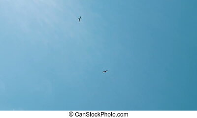 Two kite bird fly in a summer blue sky, wide angle